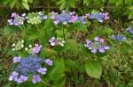 紫陽花①(6/20)