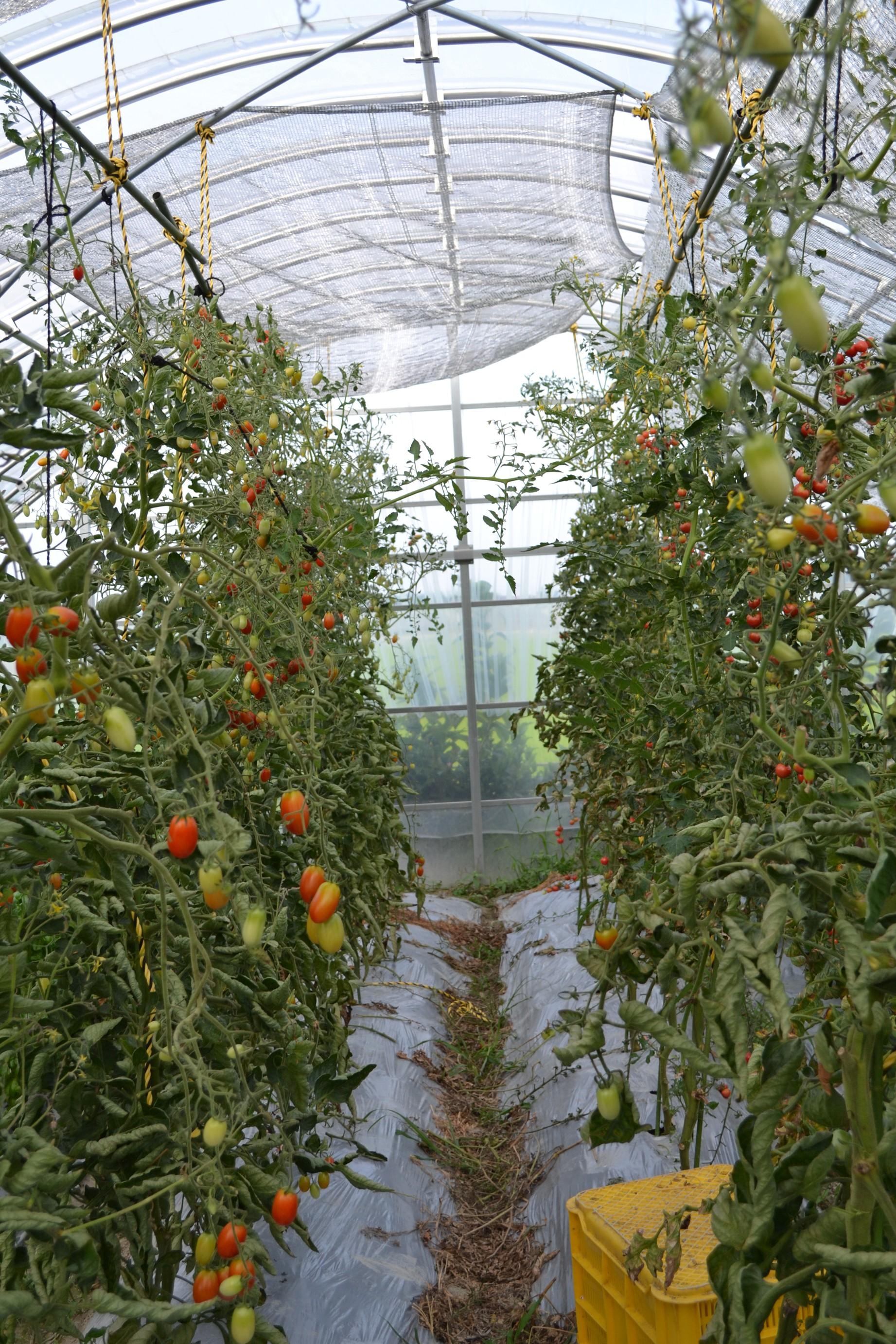 大量のトマトができています。種類は2種類。ピンキーとアイコです。サラダのトッピングやドライトマトにして使います。