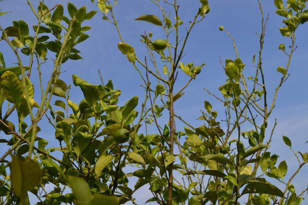 まだまだ緑ですがレモンの実が少しずつ大きくなってきました。7/21