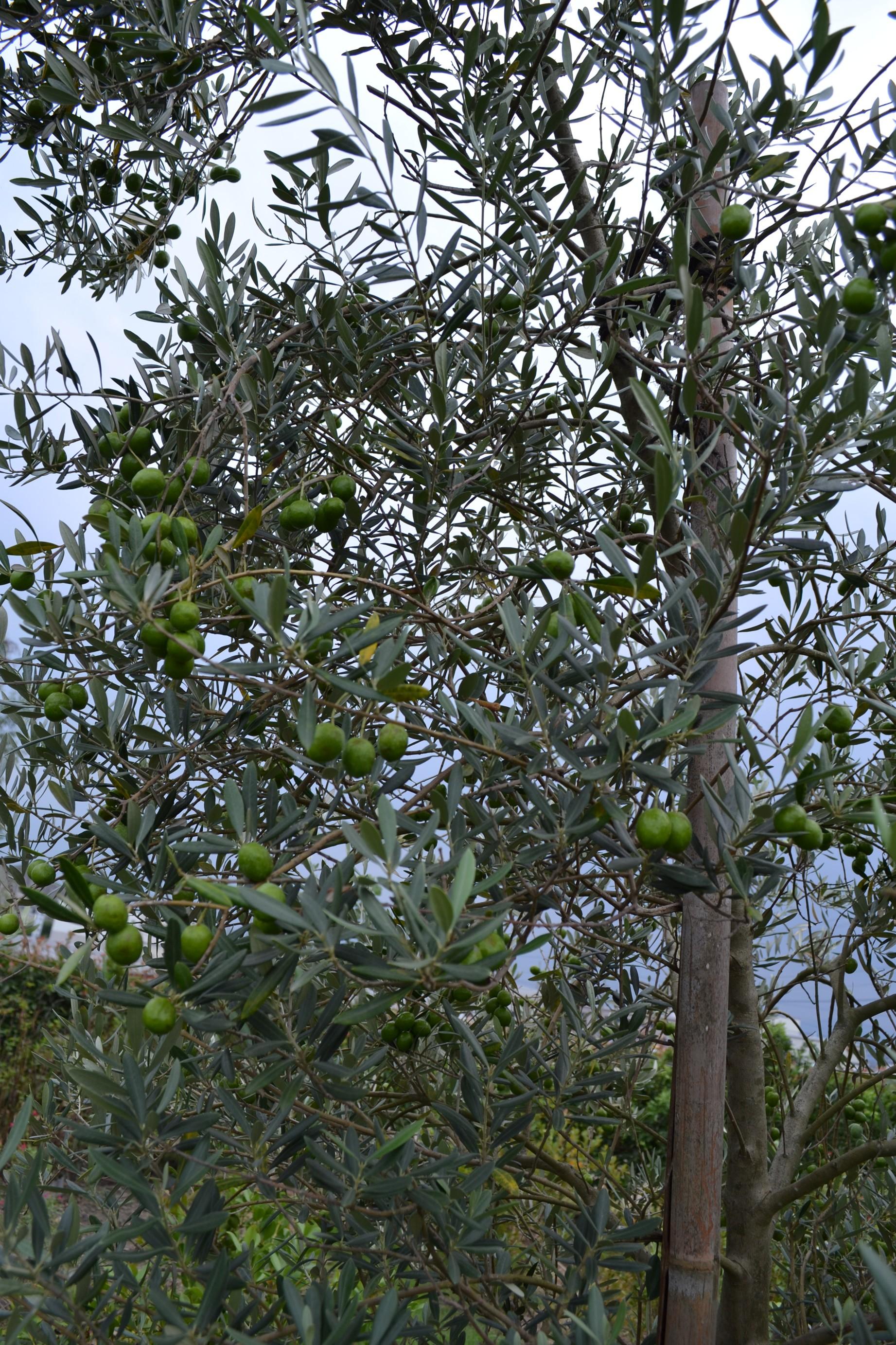 オリーブの実がいっぱい()