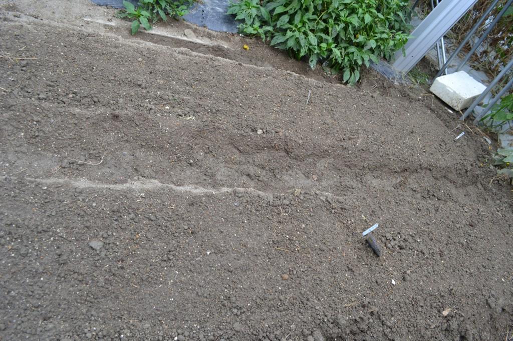 ラディッシュやコウシン大根を植えました(9/20)